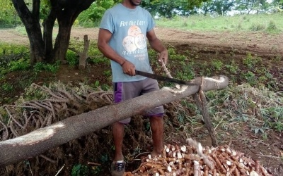 A farm worker uses a machete to chop yuca root into pieces for planting